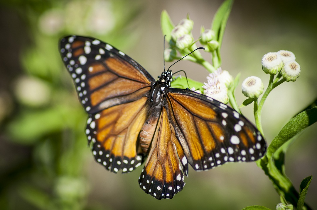 stock photos free  of close-up of monarch butterfly