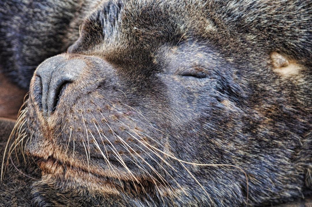 stock photos free  of sea Wolf close-up