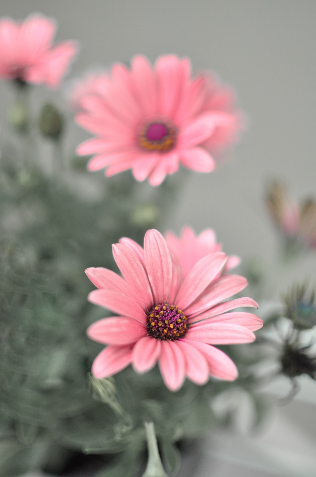 stock photos free  of Purple Osteospermum