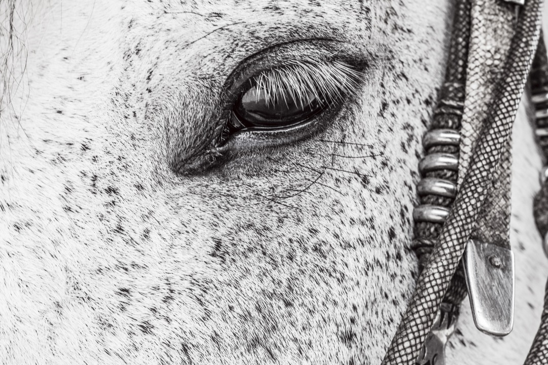 stock photos free  of close-up of black and white horse eye