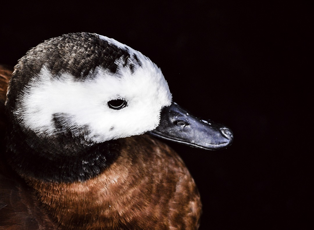 stock photos free  of Head duck with back background