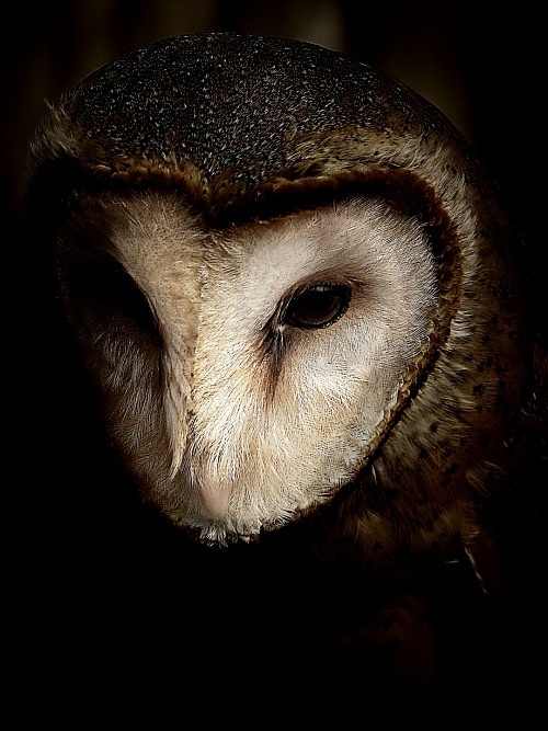 black background owl