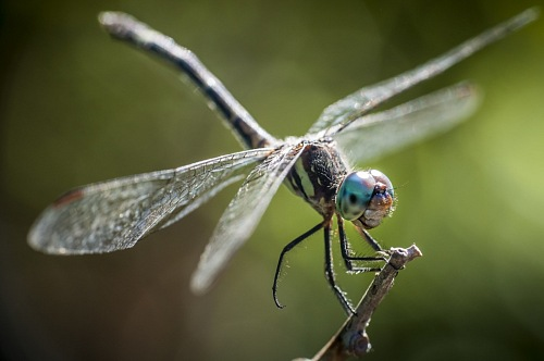 macro view of dragon-fly