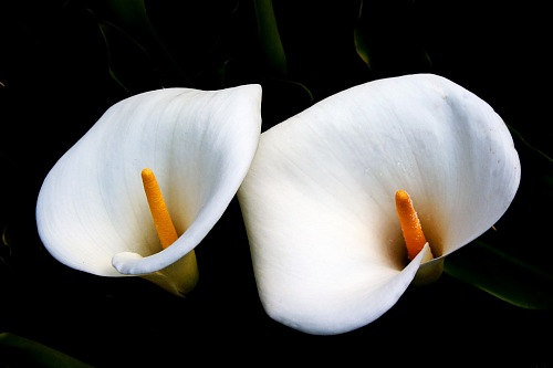 Calla lily flowers in black background