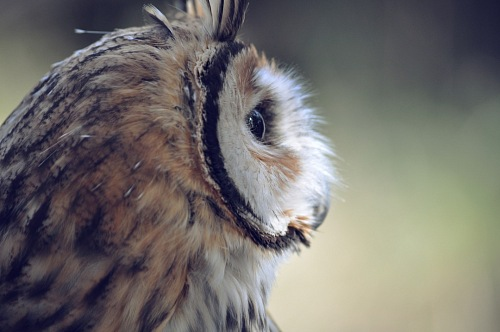 Side view of owl