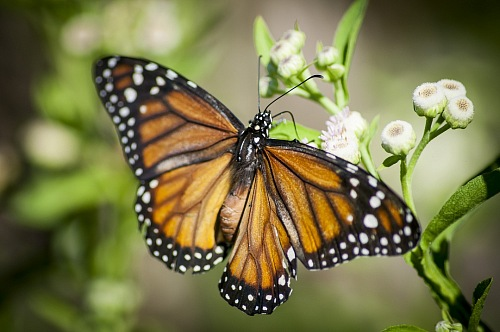free for commercial use close-up of monarch butterfly images