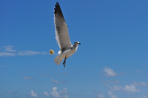 photo Seagull flying on blue sky free for commercial use images
