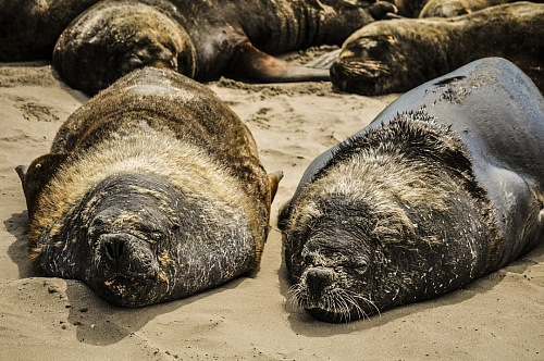 free for commercial use sea lions resting on a beach in South America images