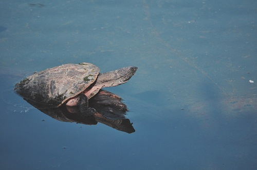 free for commercial use reflex river turtle images