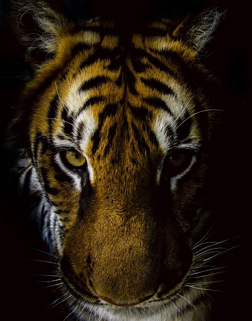 Front view of tiger with black background