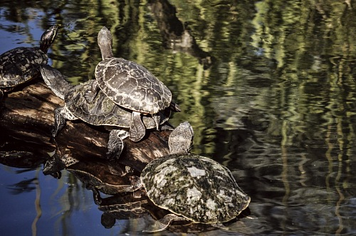 free for commercial use Terrapins mating images
