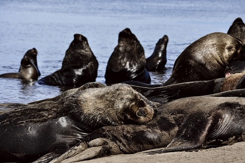 Sea lions resting at Necochea Beach in Buenos Aires, Argentina